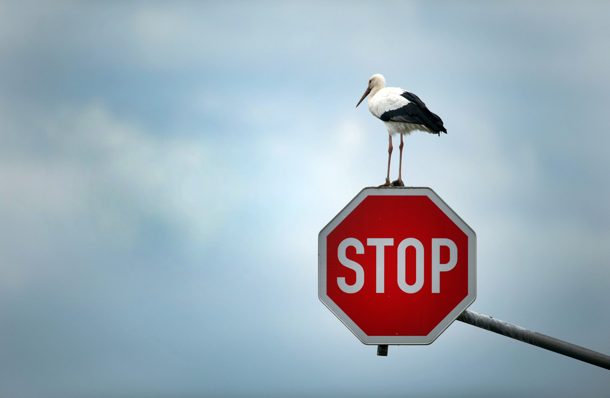 epa03910744 A stork perches on a stop sign near Immerath, Germany, 15 October 2013, before continuing his journey to search for his favourite food targets - mice, frogs and other small animals.  EPA/FEDERICO GAMBARINI